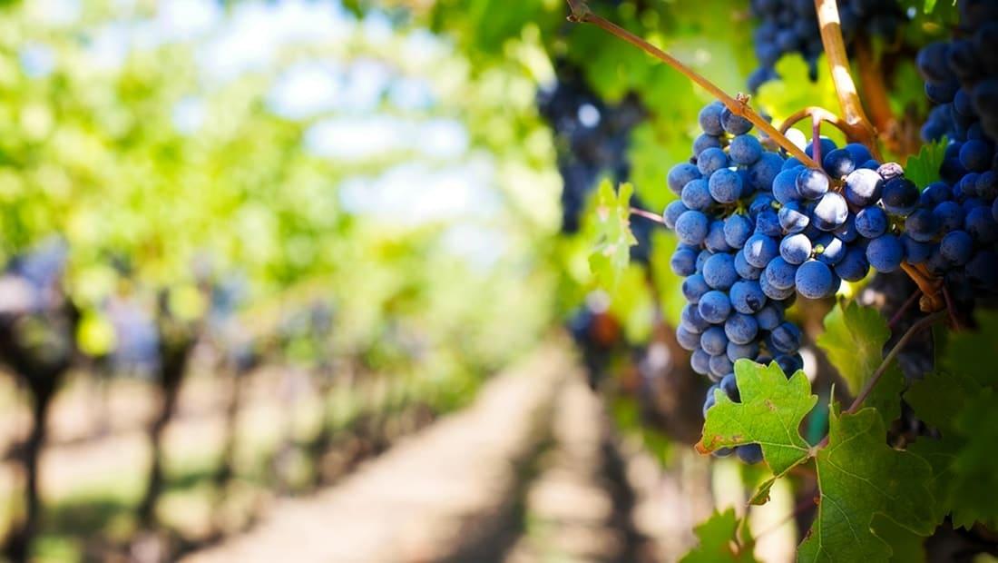 Vignobles autour de Chenonceaux