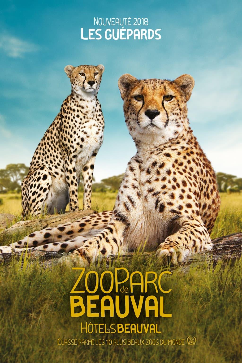 Guepard zoo de Beauval