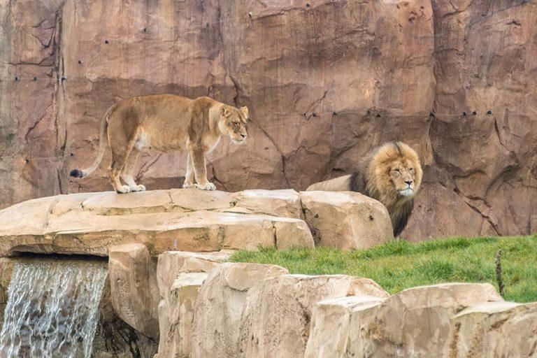 Lions, zoo de Beauval