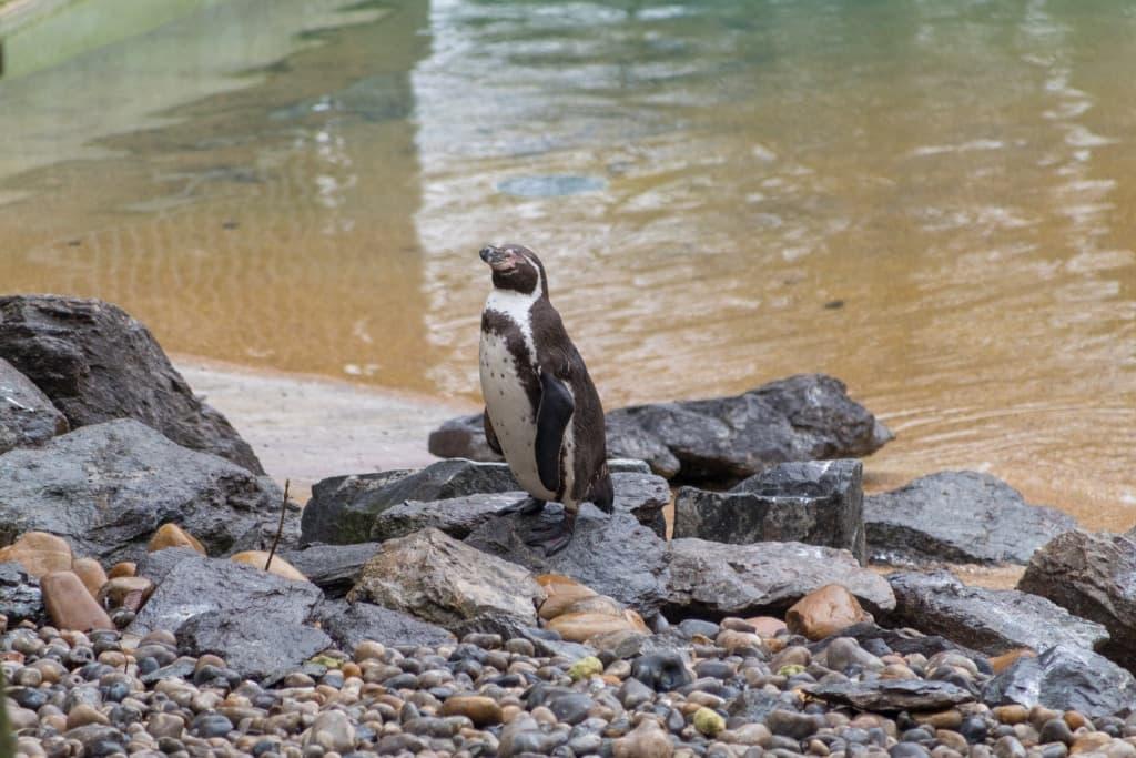 Manchot, zoo de Beauval