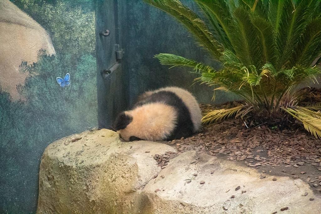 Panda, Zoo de Beauval