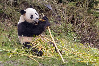 Panda Zoo de Beauval