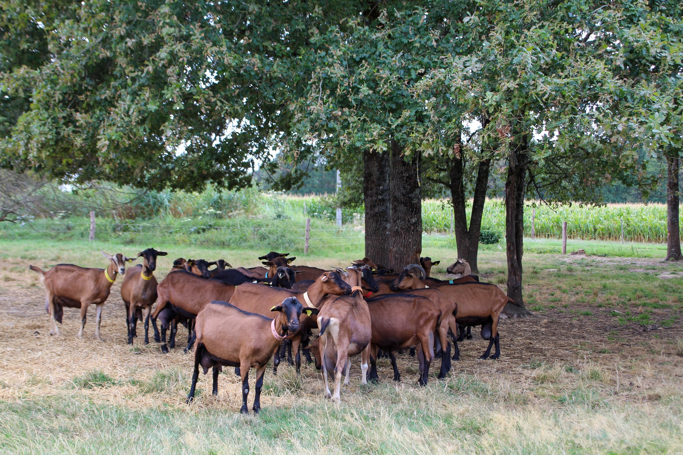 chèvres troupeau fromage prairie pré agriculture maison rouge touraine gastronomie produits locaux terroir producteur fromager eleveur