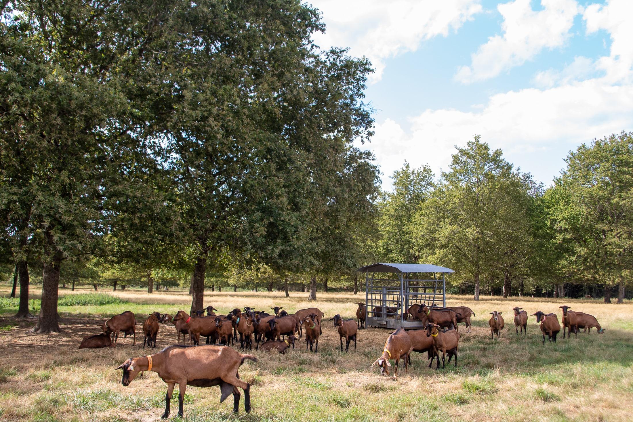chèvres fromage prairie pré agriculture maison rouge touraine gastronomie produits locaux terroir producteur fromager eleveur