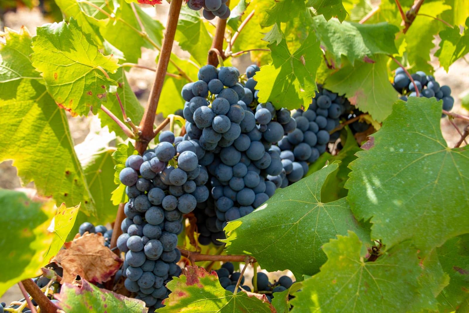 terroir produits vin degustration gastronomie paysage viticole vigneron viticulture Autour de Chenonceaux Vallee du Cher touraine 37 indre et loire tourisme activites tourisme nature